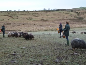 Feeding Sheep In Seven Acre