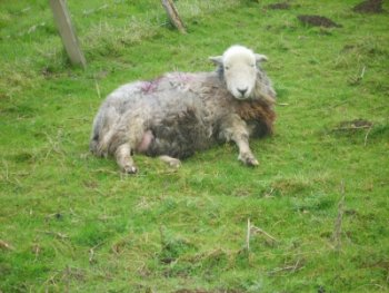 outdoor education ewe lambing
